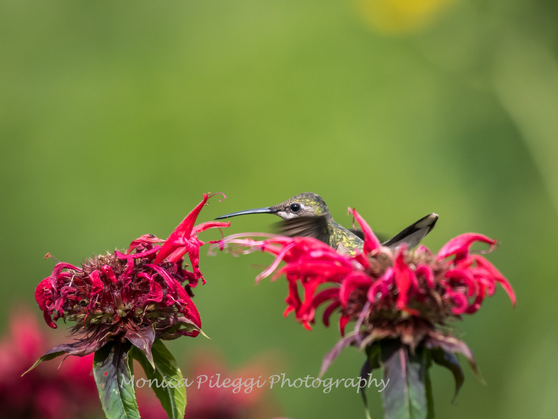 Hummingbirds 27 June 2017-0661