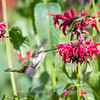 Hummingbirds 27 June 2017-0694
