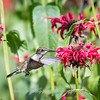 Hummingbirds 27 June 2017-0693