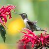 Hummingbirds 27 June 2017-0649
