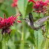 Hummingbirds 27 June 2017-0634
