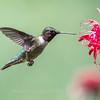 Hummingbird 26 June 2017-0438