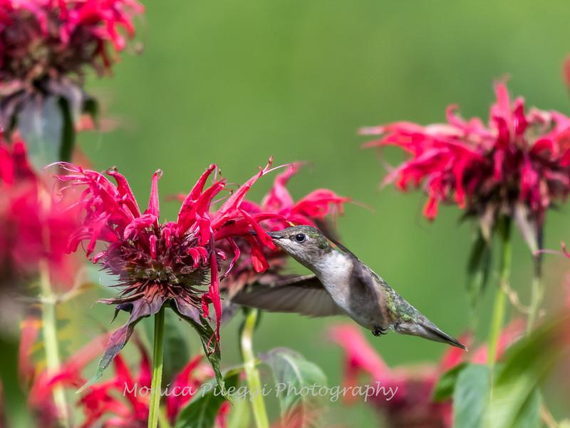 Hummingbirds 27 June 2017-0668