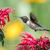 Hummingbirds 27 June 2017-0650
