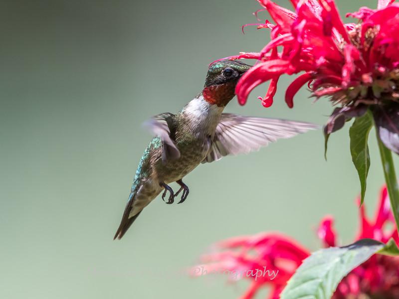 Hummingbird 26 June 2017-0454