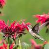 Hummingbirds 27 June 2017-0676
