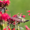 Hummingbirds 27 June 2017-0675