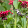 Hummingbirds 27 June 2017-0636