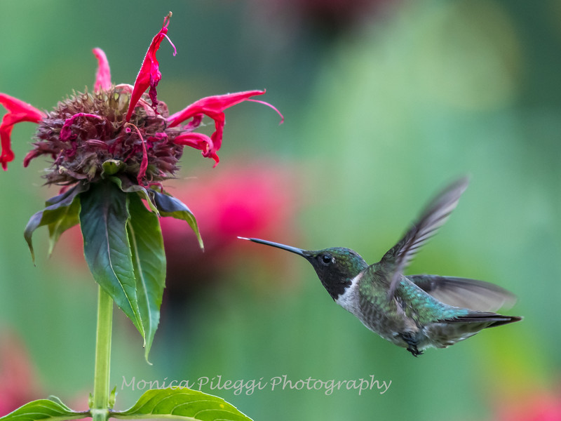 Hummingbird 26 June 2017-0417