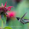 Hummingbird 26 June 2017-0417