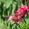 Hummingbirds 27 June 2017-0685