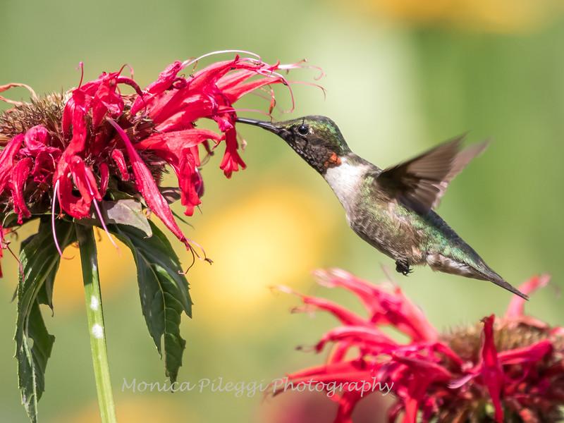 Hummingbirds 27 June 2017-0652