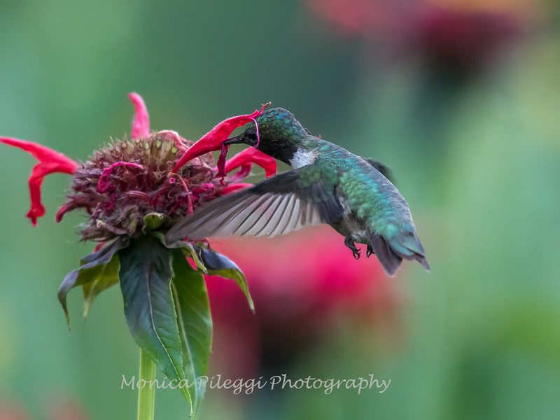 Hummingbird 26 June 2017-0413