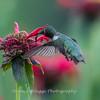Hummingbird 26 June 2017-0413