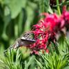 Hummingbirds 27 June 2017-0684