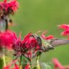 Hummingbirds 27 June 2017-0673