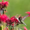 Hummingbirds 27 June 2017-0674