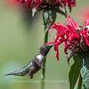 Hummingbird 26 June 2017-0383