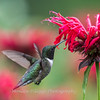 Hummingbird 26 June 2017-0409