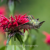 Hummingbirds 27 June 2017-0628