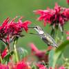 Hummingbirds 27 June 2017-0678