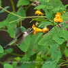 Hummingbirds 19 September 2017-8141