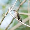 Hummingbirds 19 September 2017-8157