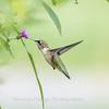Hummingbirds 19 September 2017-8166