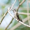 Hummingbirds 19 September 2017-8152