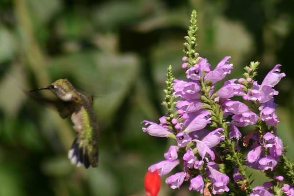 hummingbirds 2005
