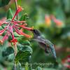 Hummingbirds 17 July 2017 -1823