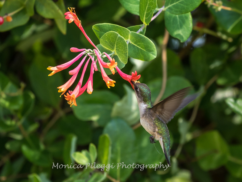 Hummingbirds 17 July 2017 -1680