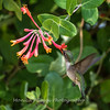 Hummingbirds 17 July 2017 -1680