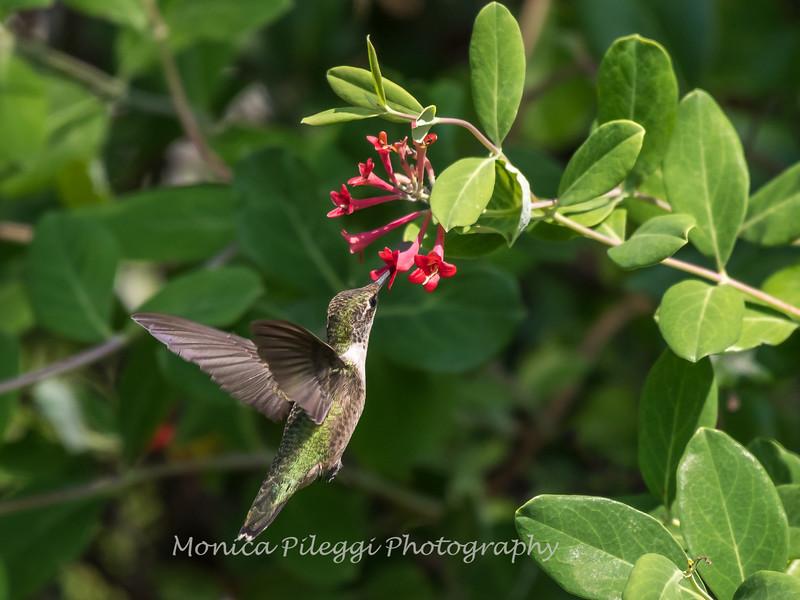 Hummingbirds 17 July 2017 -1741