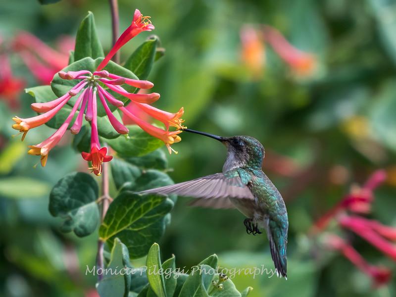 Hummingbirds 17 July 2017 -1820