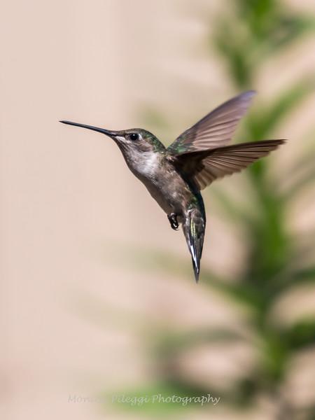 Hummingbirds 17 July 2017 -1854