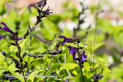 Hummingbirds, Etc....