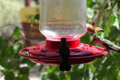 Hummingbirds, Piedra Lumbre Visitors Center, Ghost Ranch, Abiquiu, New Mexico 2011-07  http://www.ghostranch.org/