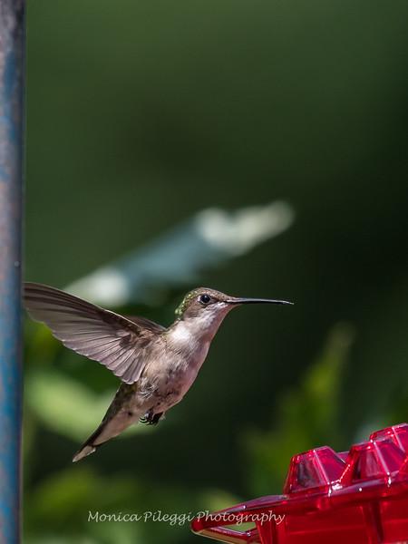 Hummingbirds 2 Aug 2017 -2875