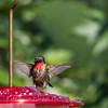 Hummingbirds 2 Aug 2017 -2963