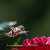Hummingbirds 2 Aug 2017 -2868