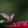 Hummingbirds 2 Aug 2017 -2836