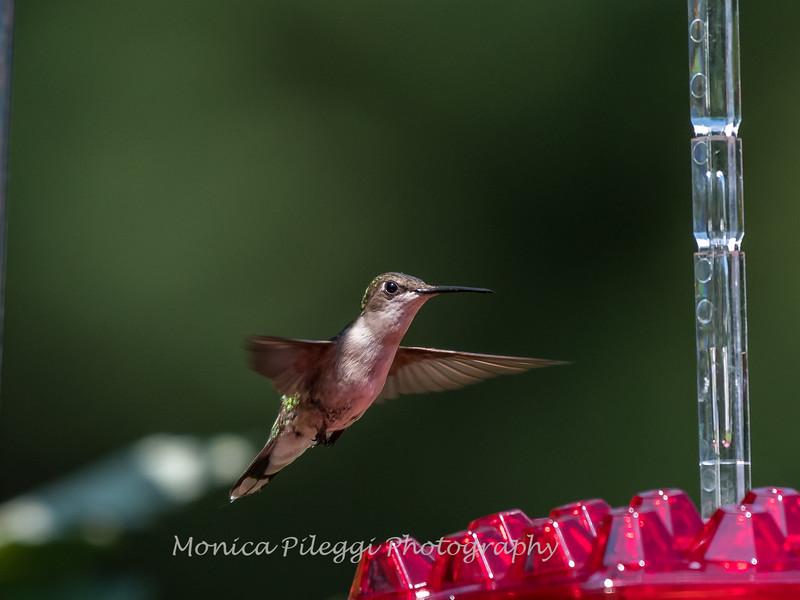 Hummingbirds 2 Aug 2017 -2832