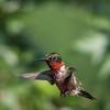 Hummingbirds 2 Aug 2017 -2955