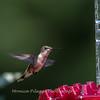 Hummingbirds 2 Aug 2017 -2833