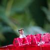 Hummingbirds 2 Aug 2017 -2908