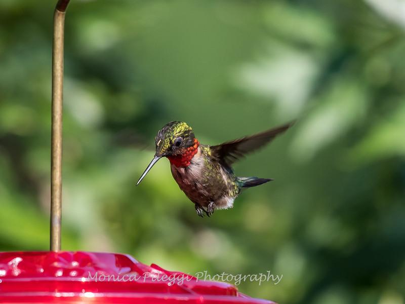 Hummingbirds 2 Aug 2017 -2946