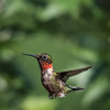 Hummingbirds 2 Aug 2017 -2957