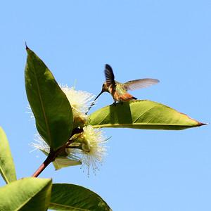 Hummingbirds in backyard