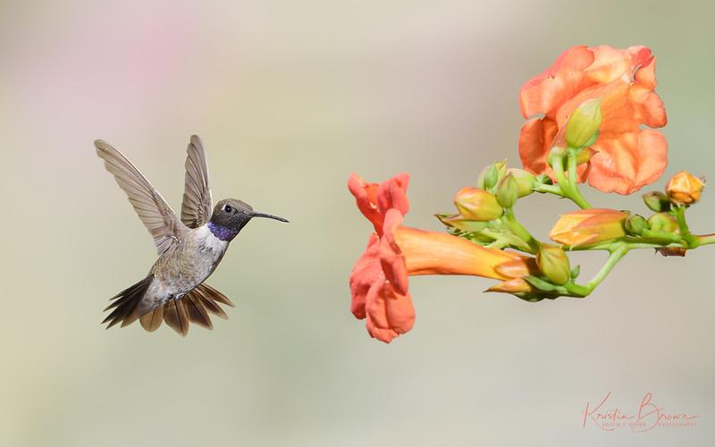 Male Black-chinned Hummingbird at Trumpet Vine